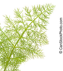 fennel leaf - young green lacy fennel leaf isolated on white...