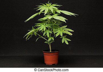 Young Green Leaf Cannabis Indica Plant Marijuana