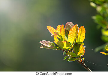 Young green leaves in the light of the setting sun. Spring Colors.