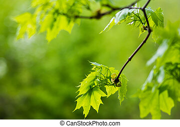 green leaves of maple on a branch