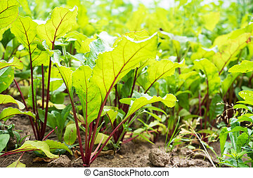 Young green leaves of the beets growing in the garden.