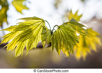 Young green leaves of the maple tree