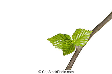 young green leaves on a branch closeup isolated