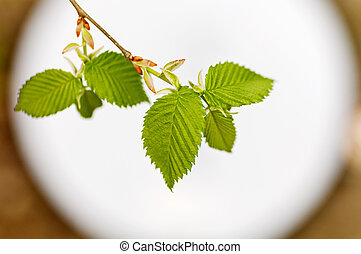young green leaves on branch against the backdrop of the round window