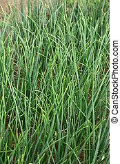 Young green leek growing on soil