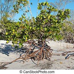 Young green mangrove tree on pristine white tropical island beach.