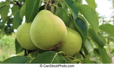 green pears ripen on a branch - young green pears ripen on a...