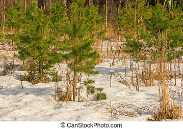 Young green pine trees.