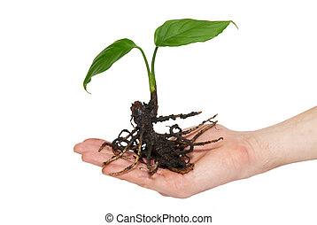 Young green plant in hand isolated on white.