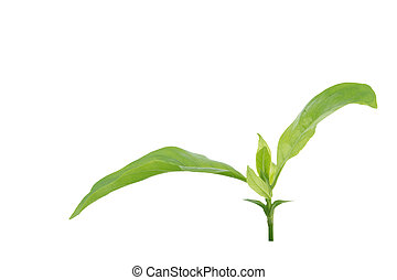 Young green plant isolated on white background.
