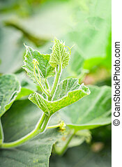 Young green pumpkin plant growing on nature background in the vegetable garden