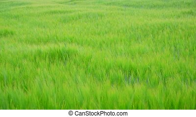 Young green rye field in June in Russia - Young green rye...