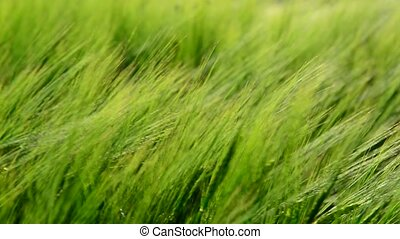 Young green rye in wind close up - Young green rye in the...