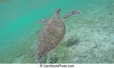 Young Green Sea Turtle (Chelonia mydas) emerges to surface of water to breathe, indonesia gili trawangan island pasific ocean, snorkelling water sports, indescribable nature, inexpressible emotions
