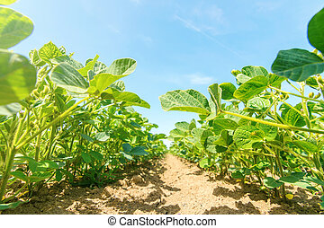 Young green soy plants with large leaves grow in the field.