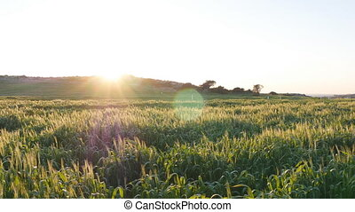 Young green spikelet at sunset. Agriculture concept
