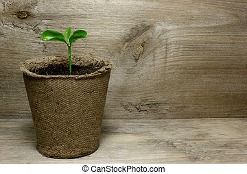 Young green sprout in the pot with the ground on wooden background.