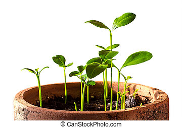 Young green sprout of lemon in pot