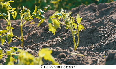 Young green tomatoes are only planted in the ground and...