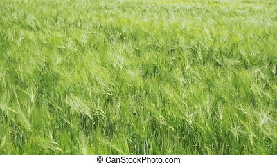 Young Green Wheat and Spikelets in a Field. Slow Motion