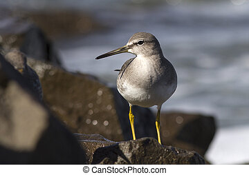 young grey-tailed tattler which stands on a rock by the ocean