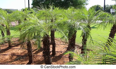 young growth palm trees
