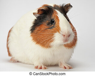 Young guinea pig on white background