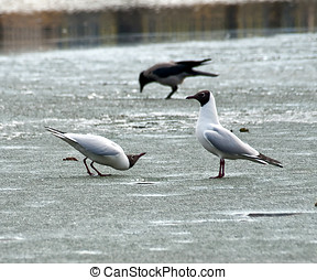 Young gulls on the spring lake ice