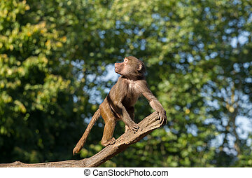Young hamadryas baboon in a tree