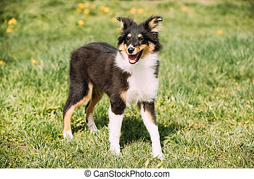 Young Happy Smiling Shetland Sheepdog Sheltie Puppy Playing Outdoor