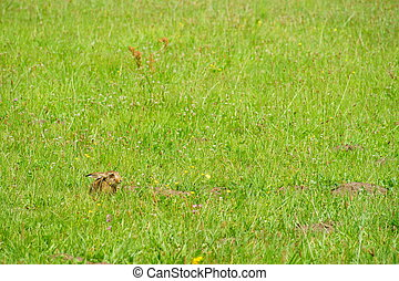 hare in a meadow