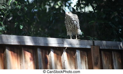 a hawk moves along a fence, cleans its beak and takes off