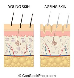 Young healthy skin and older skin comparison. - Young...