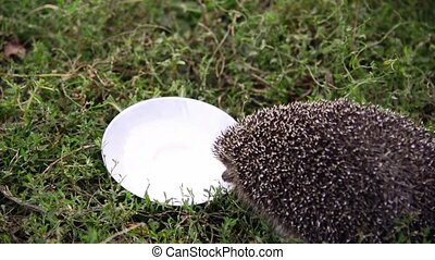 Young hedgehog around a saucer of milk in garden - Young ...
