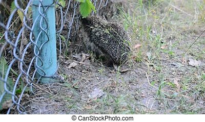 Young hedgehog comes through steel wire lattice fence -...