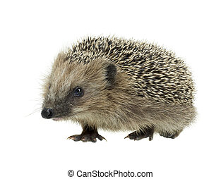 young hedgehog in white back - frontal shot of a young...