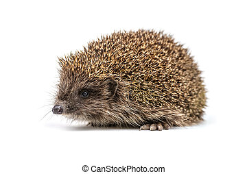 hedgehog - young hedgehog isolated on white