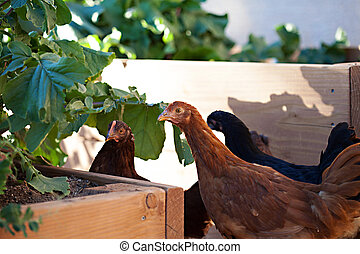 Three young hens free range in the garden