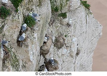 herring gull, Larus argentatus - Young herring gull, Larus...