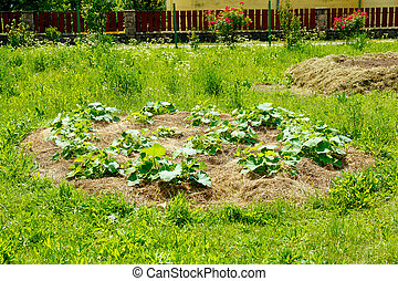 young hokkaido pumpkin plants on straw bet in permaculture...