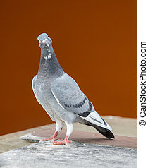 young homing pigeon bird standing on wood floor against colorful wall