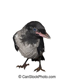 Young hooded crow (Corvus cornix) isolated on white ...