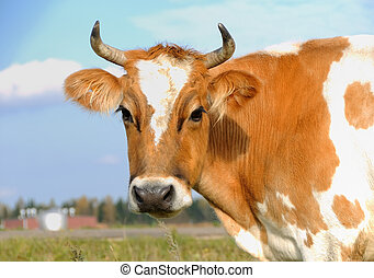 young horned cow on the grassland - close-up portrait of...