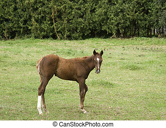 young horse in the field