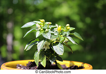 Young hot pepper plant  in a pot outdoors