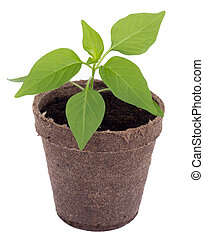 young hot pepper plant