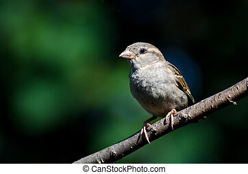 Young House Sparrow Perched on a Branch