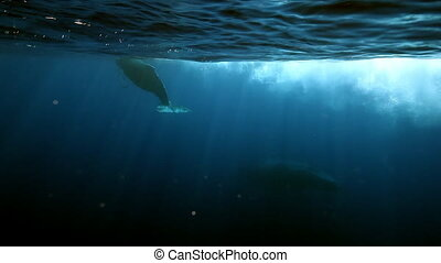 Young Humpback Whale calf with mother underwater in blue...