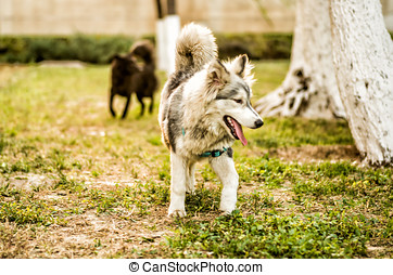 young huski puppy playing in the park - young huski puppy...