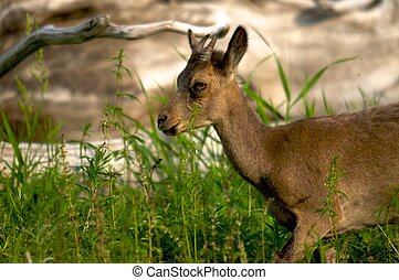 young ibex close up on a background of green grass